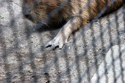 kapibara 03.jpg