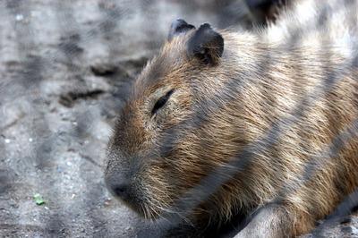 kapibara 02.jpg